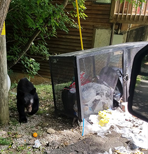 Bear searching trash for food
