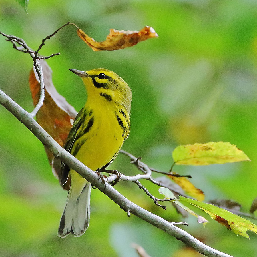 Fall Warblers Made Simple