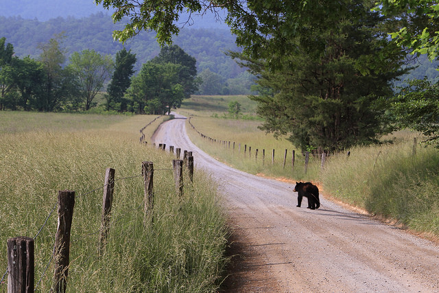 May 2014 Black Bear in Cades Cove Photo by Warren Bielenberg