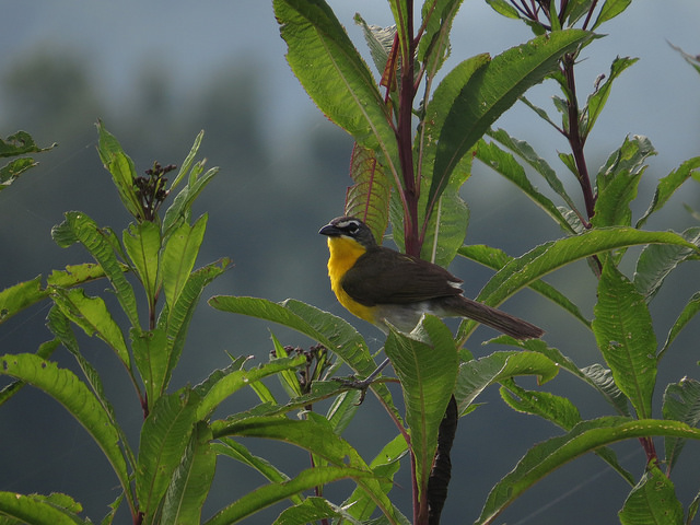Yellow breasted chat bird photo by Warren Bielenberg