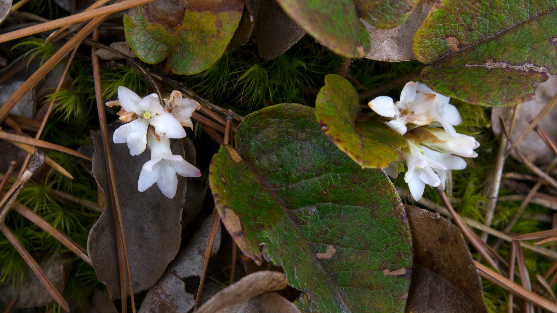 Trailing Arbutus photo by Gary Wilson