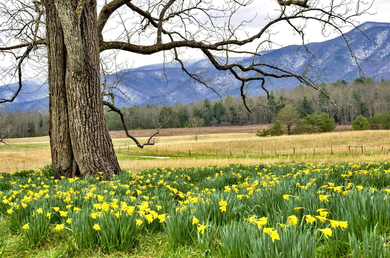 Snow on the Mountains and Daffodils on the Hill